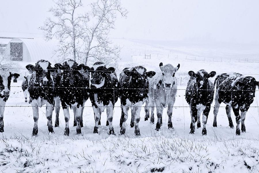Photo of Coldiretti: Basilicata grande protagonista nella filiera carni bovine italiane
