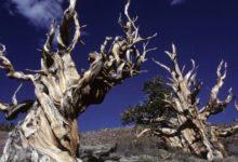 Photo of Scoperto nell'albero più vecchio del mondo il meccanismo della longevità. Nato prima delle piramidi d'Egitto